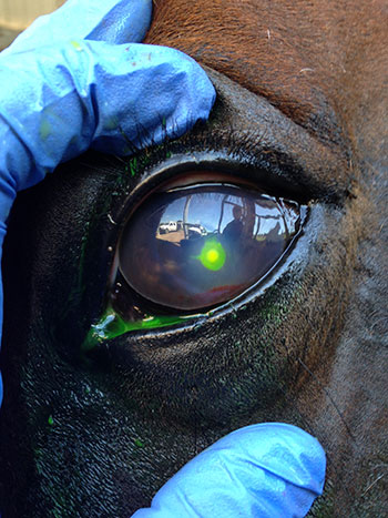 horse eye staining2 Eye Problems