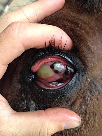 horse eye ulcer Eye Problems
