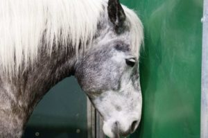 shutterstock 96251351 300x199 What is Equine Influenza and why vaccinate?