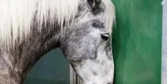 What is Equine Influenza and why vaccinate?