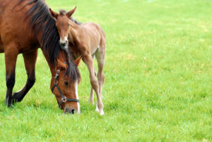 shutterstock 51643987 300x201 When Should I Vaccinate and Worm My Mare Before She Foals?