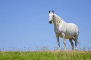 shutterstock 697113259 300x199 How Do I Know if My Mare is Pregnant?