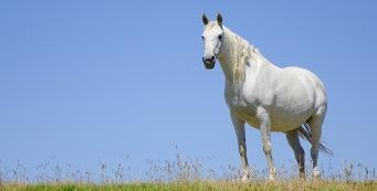 How Do I Know if My Mare is Pregnant?