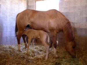 shutterstock 1205942 300x224 My Mare's Placenta is Still Hanging Out of Her. What Should I Do?
