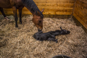 shutterstock 504339973 300x200 What Should I Do if My Mare Won't Let Her Foal Drink?