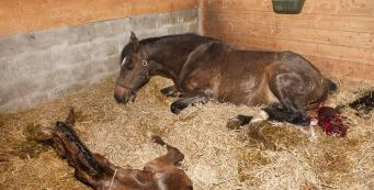 My Mare's Placenta is Out. What Does a Normal Placenta Look Like?