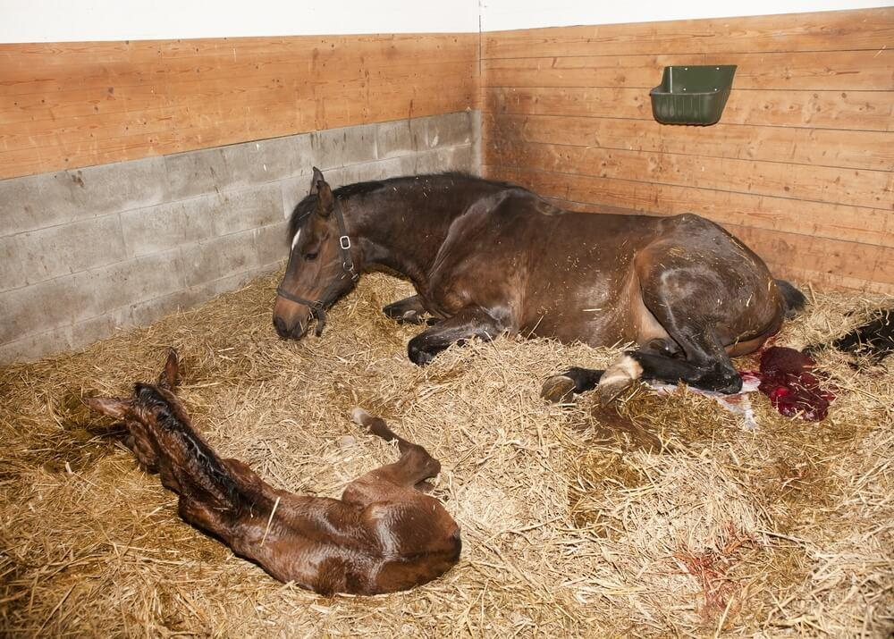 My Mares Placenta Is Out What Does A Normal Placenta Look Like-4416