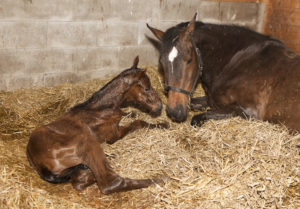 shutterstock 424072159 300x209 My Mare Has Foaled and I Suspect Colic. What Should I Do?