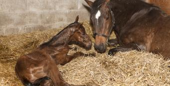 My Mare Has Foaled and I Suspect Colic. What Should I Do?